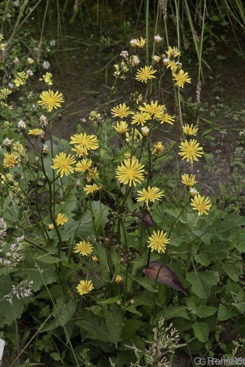 Crepis paludosa - Sumpf-Pippau (WCN)