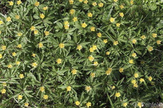 Anemone ranunculoides - Gelbes Windröschen (WCR)