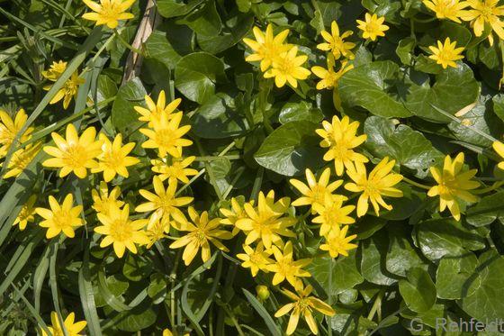 Ranunculus ficaria - Scharbockskraut (WCR)