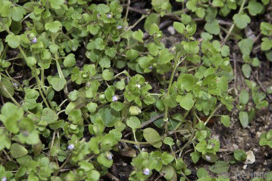 Veronica hederifolia - Gewöhnlicher Efeublättriger Ehrenpreis
