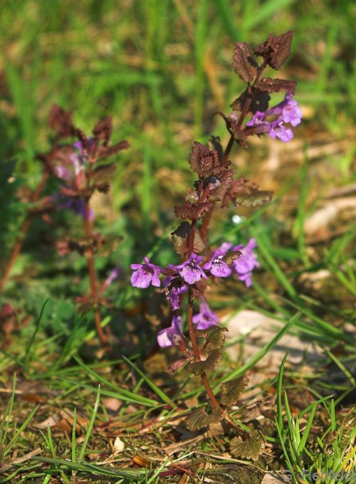 Glechoma hederacea - Gundermann