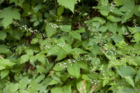 Circaea lutetiana - Große Hexenkraut