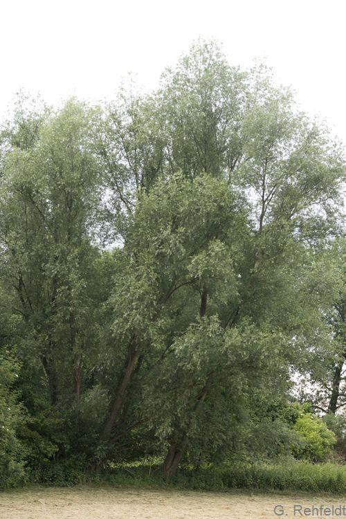 Salix alba - Silber-Weide