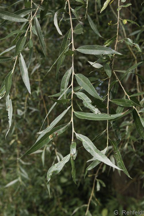 Salix x rubens - Fahl-Weide