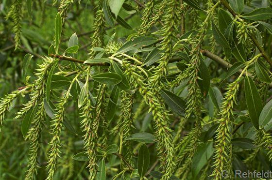 Salix triandra - Mandel-Weide