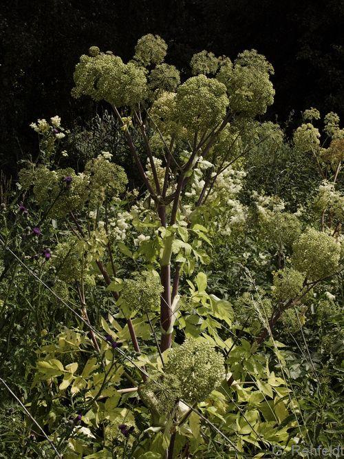 Angelica archangelica - Erz-Engelwurz