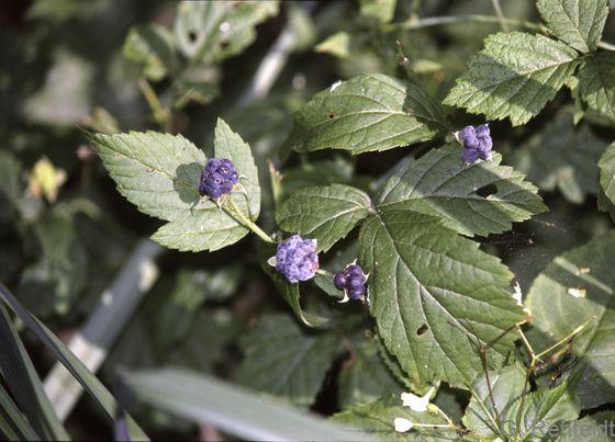 Rubus caesius - Kratzbeere