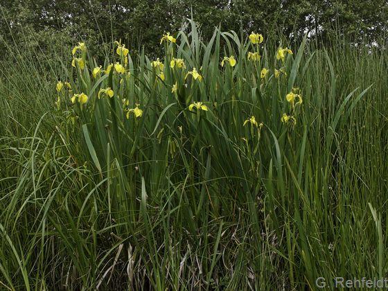 Iris pseudacorus - Sumpf-Schwertlilie (WWS)