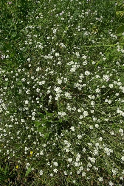 Berteroa incana - Gewöhnliche Graukresse (URT)