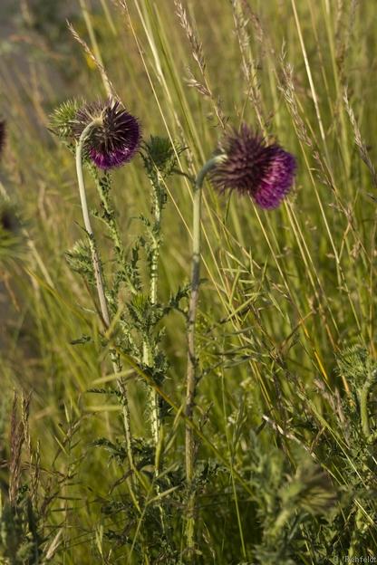 Carduus nutans - Nickende Distel (URT)