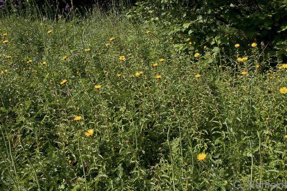 Inula salicina - Weidenblättriger Alant (UTK)