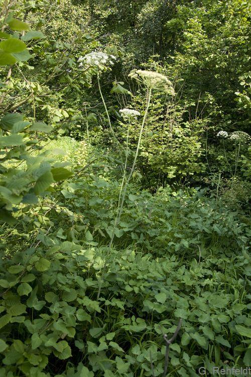 Laserpitium latifolium - Breitblättriges Laserkraut (UTK)