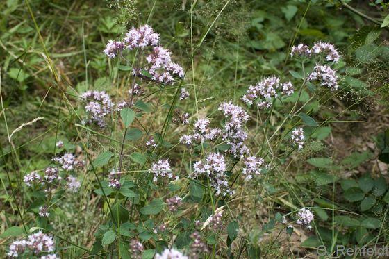 Origanum vulgare - Oregano (UTK)
