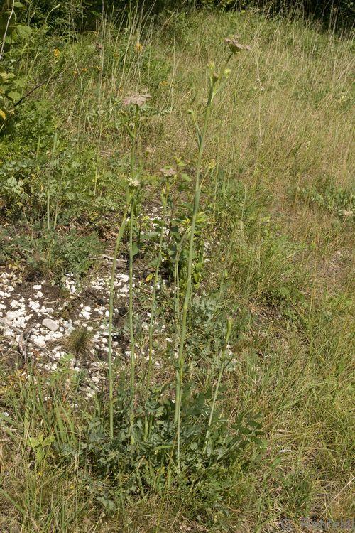 Peucedanum cervaria - Hirschwurz (UTK)
