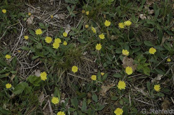 Hieracium pilosella - Kleines Habichtskraut (UTA)