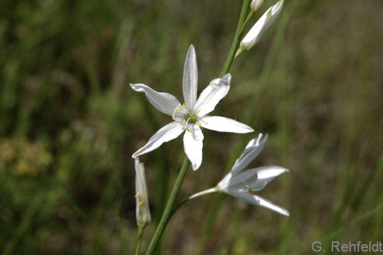 Anthericum liliago - Astlose Graslilie (UTK)