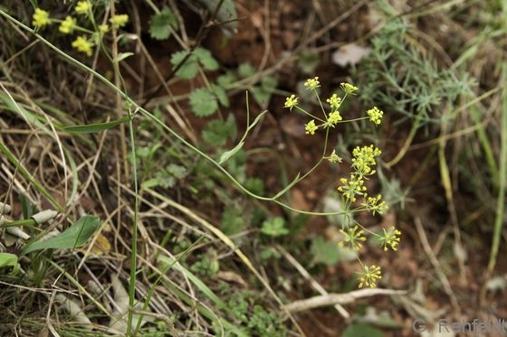 Bupleurum falcatum - Sichelblättrige Hasenohr (UTK)