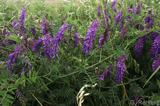 Vicia cracca - Vogel-Wicke (UMS)