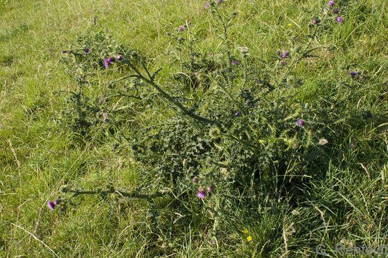 Carduus crispus - Krause Distel