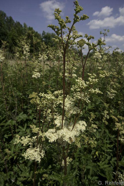 Filipendula ulmaria - Mädesüß