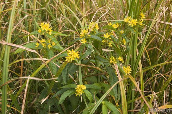 Lysimachia vulgaris - Gewöhnlicher Gilbweiderich