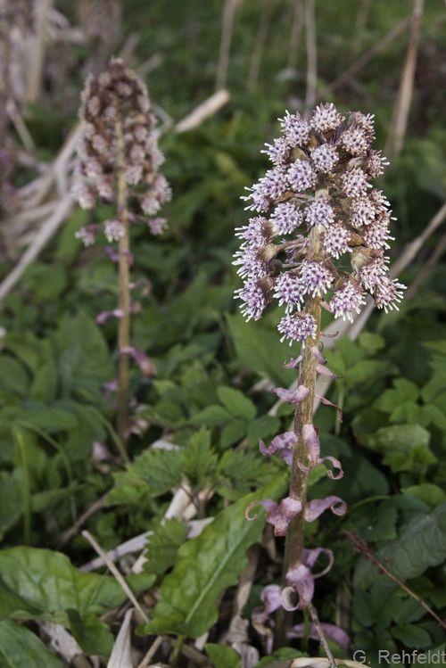 Petasites hybridus - Gewöhnliche Pestwurz