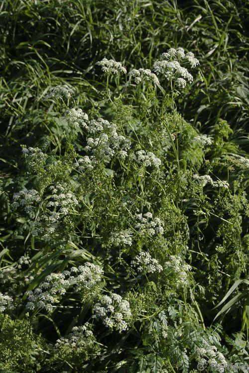 Chaerophyllum bulbosum - Knolliger Kälberkropf (UFT)
