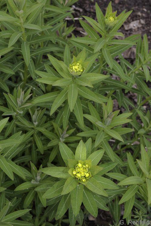 Euphorbia palustris - Sumpf-Wolfsmilch (UFT)