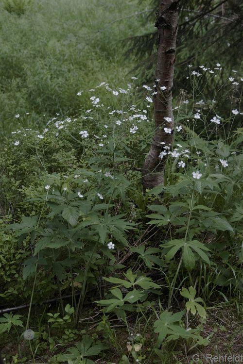 Ranunculus platanifolius - Platanenblättriger Hahnenfuß (UFM)