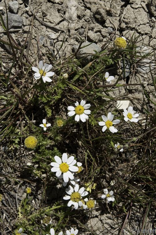 Anthemis arvensis - Acker-Hundskamille (AS/AL)