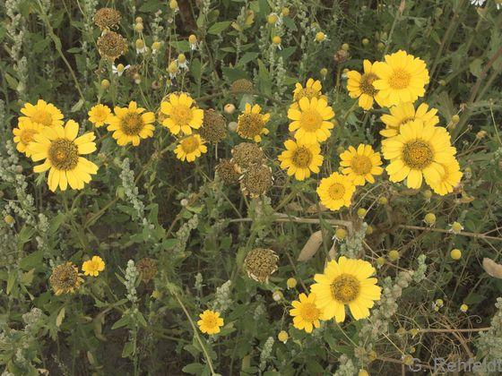 Glebionis segetum - Saat-Wucherblume (AS/AL)