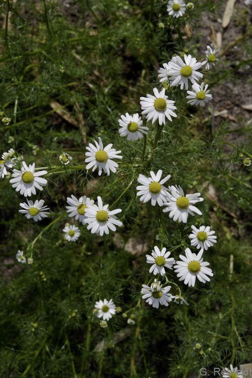 Matricaria recutita - Echte Kamille (AS/AL)