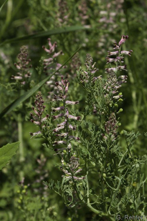 Fumaria officinalis - Gewöhnlicher Erdrauch (AT/AK)