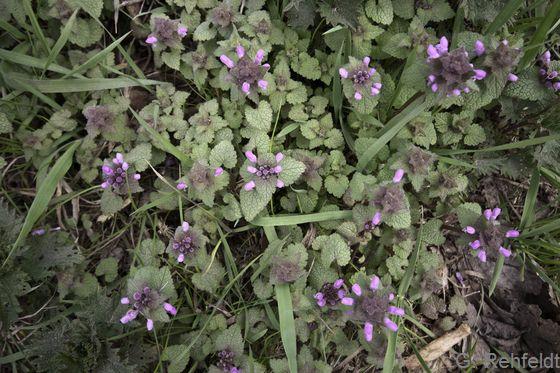 Lamium purpureum - Purpurrote Taubnessel (AT/AK)