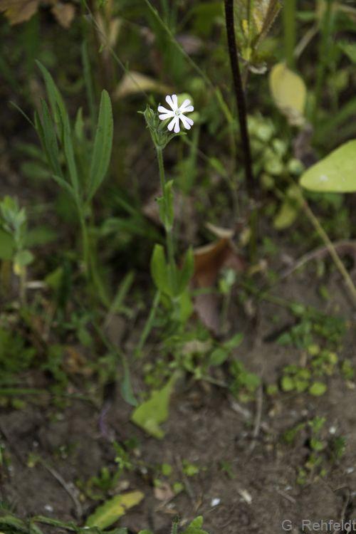 Silene noctiflora - Acker-Lichtnelke (AT/AK)