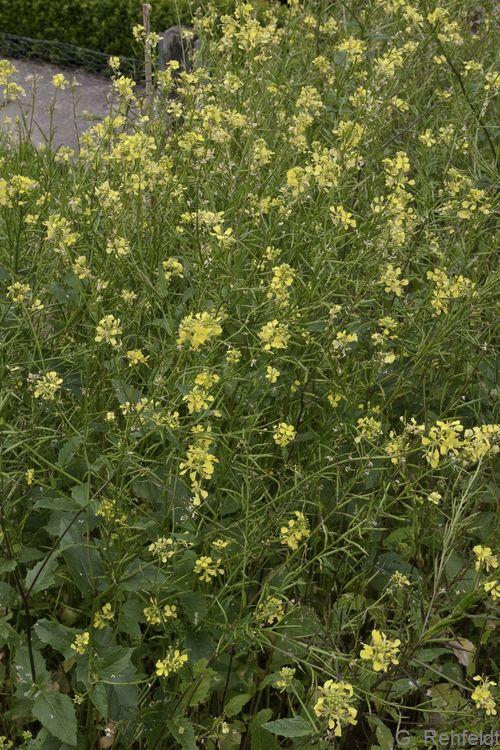 Sinapis arvensis - Acker-Senf (AT/AK)