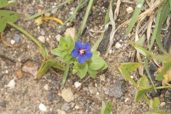 Anagallis foemina - Blauer Gauchheil (AK)