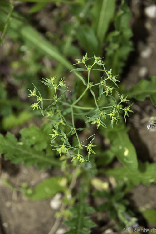 Euphorbia exigua - Kleine Wolfsmilch (AK)