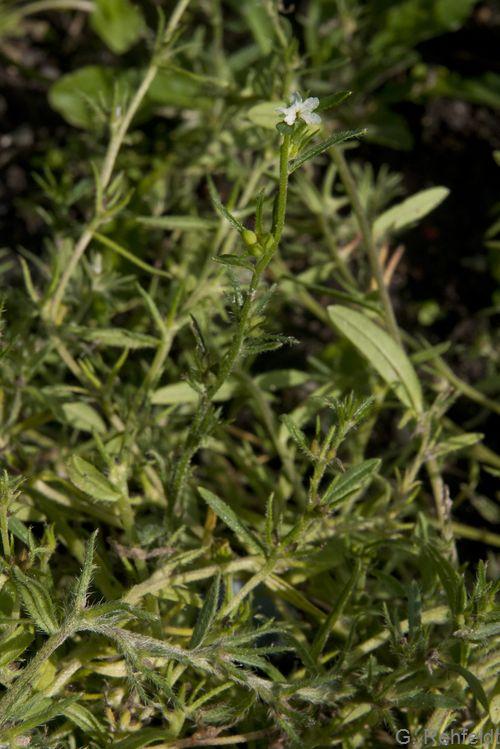 Lithospermum arvense - Acker-Steinsame (AK)