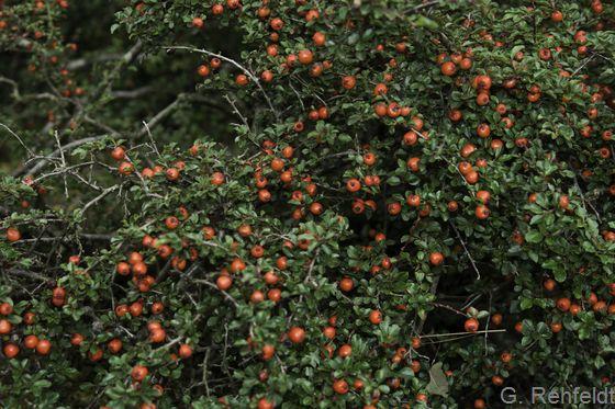 Cotoneaster praecox - Zwergmispel (BZN)