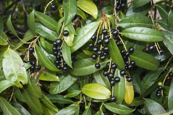 Prunus laurocerasus - Lorbeerkirsche (BZN)