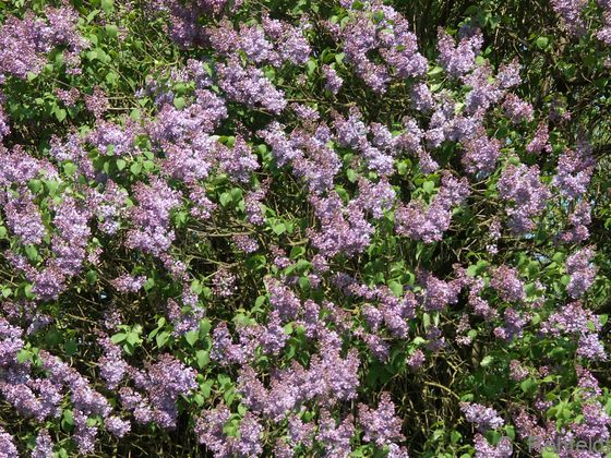Syringa vulgaris - Gemeiner Flieder (BZN)