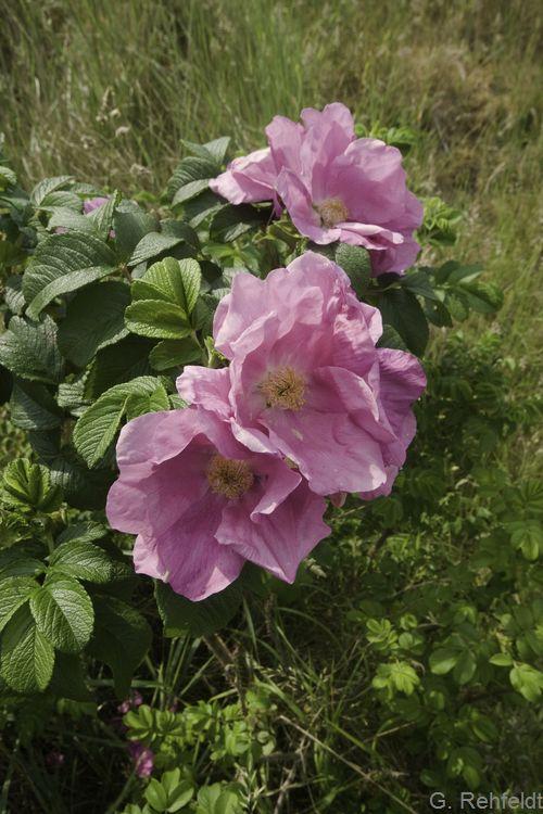 Rosa rugosa - Kartoffelrose (BZN)