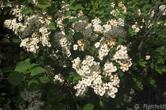 Symphoricarpos albus - Gewöhnliche Schneebeere (BZN)
