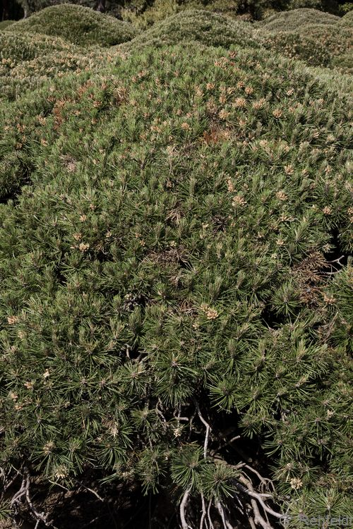 Pinus mugo ssp. pumilio - Bergkiefer (BZN)