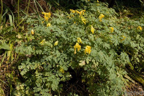 Pseudofumaria lutea - Gelber Lerchensporn
