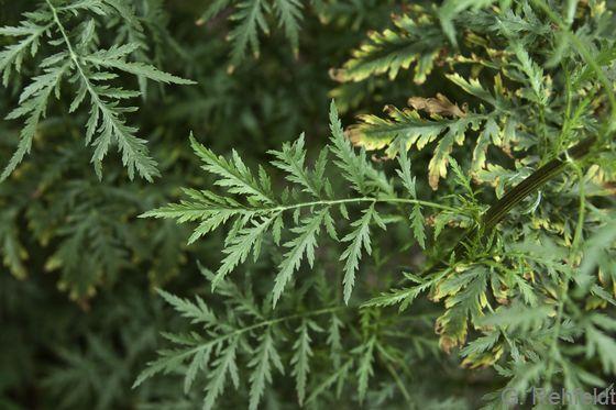 Artemisia tournefortiana - Armenischer Beifuß