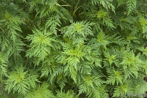 Ambrosia artemisiifolia - Beifuß-Ambrosie