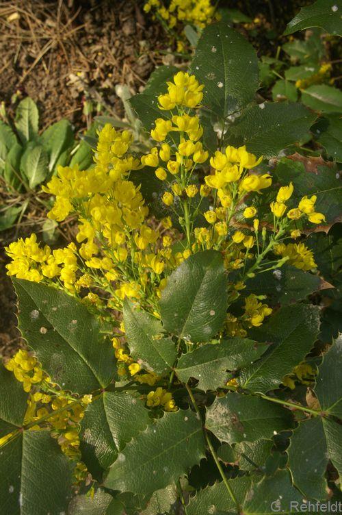 Mahonia aquifolium - Gewöhnliche Mahonie