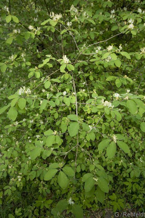 Lonicera xylosteum - Rote Heckenkirsche